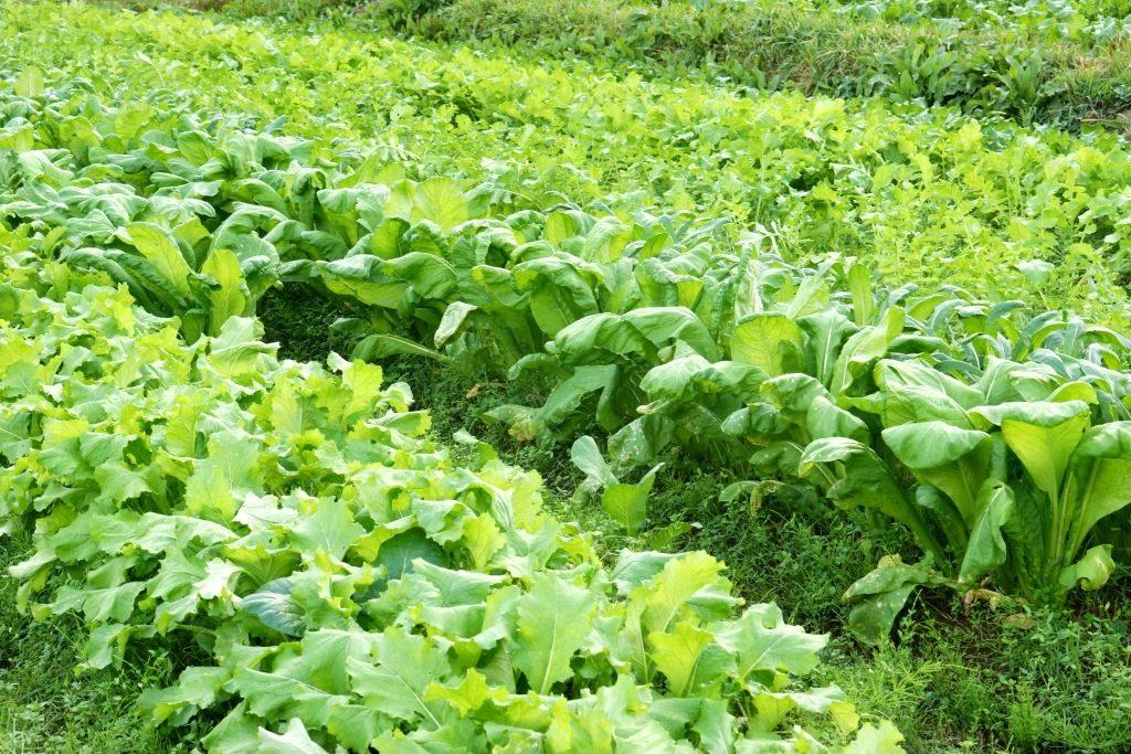 無肥料・無農薬の自然栽培の畑の写真